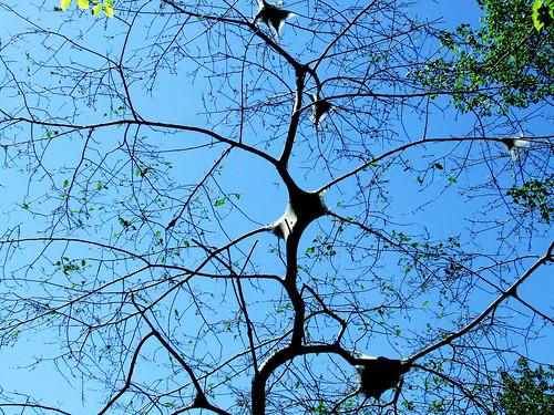 tent caterpillar tree (black cherry)