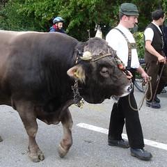 der Kühe ihr Mann