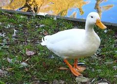 Feeding the Ducks at London Colney