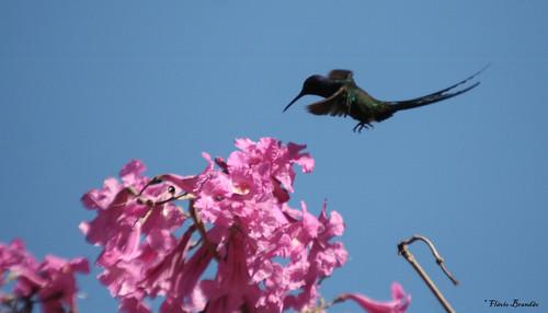Série com o Beija-flor Tesoura (Eupetomena macroura) e o Ipê-roxo Bola (Tabebuia impetiginosa) - Series with the Swallow-tailed Hummingbird and the Pau D'Arco Bark - 14-06-2008 - IMG_4987 por Flávio Cruvinel Brandão.