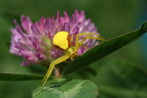 Crab Spider on Clover