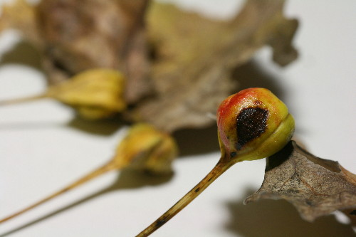 Poplar Petiolegall Aphid (Pemphigus populitransversus)