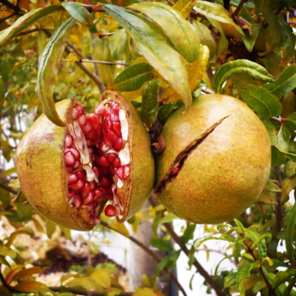 #141 - Pomegranate