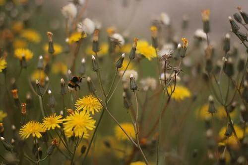 Big bee landing