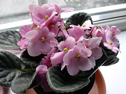 african violet by Maysiefurs.