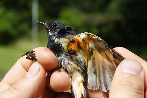 American Redstart Male 1a