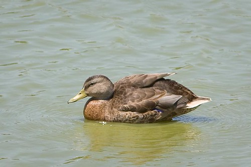 Northern Pintail by you.