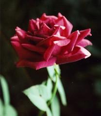 rosa..