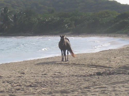 Horse on the beach, Sun Bay, Vieques