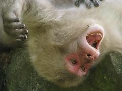 95 - Yawning Monkey - 20080618