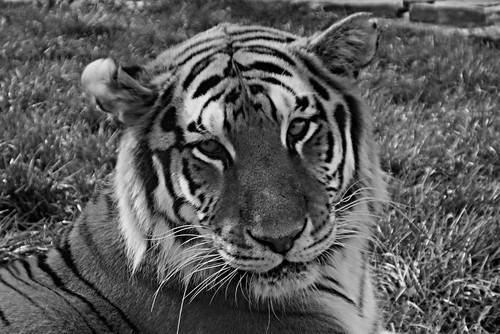 Tigre de l'amour por meunierd.