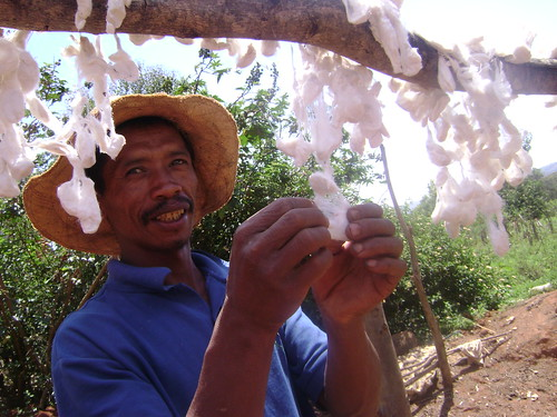 Drying coocons is part of the silk-production process.