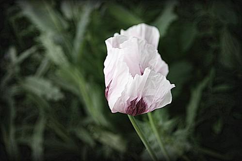 Flower in the field by ShellieMM