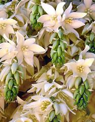Yucca filifera #2