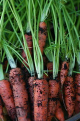 Freshly dug carrots