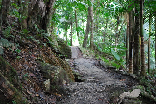 Big Tree Trail, El Yunque