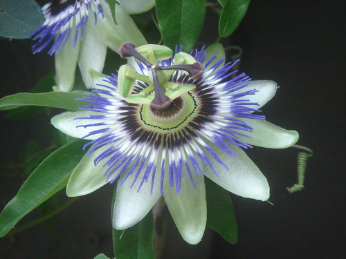 granadilla flowers 1