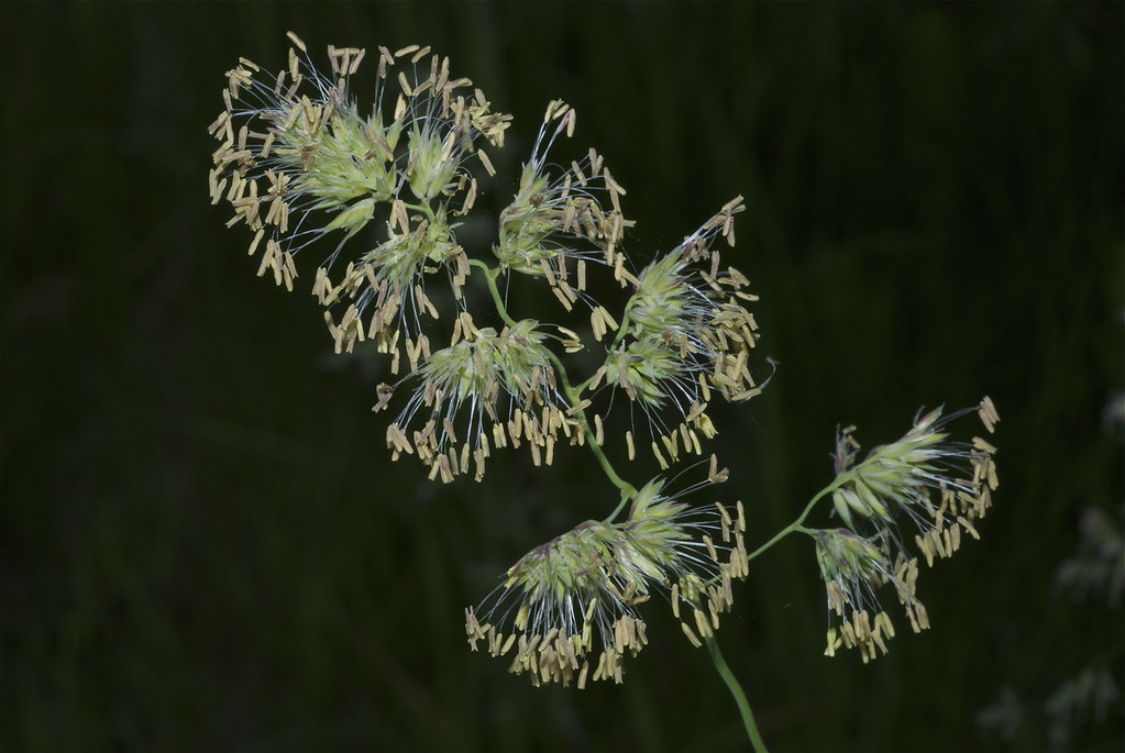 Orchardgrass, Cock's-Foot Grass ~ Dactylis glomerata