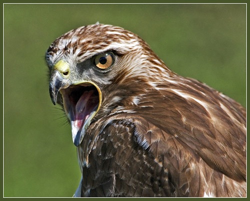 Angry Lanner falcon by hawkgenes.