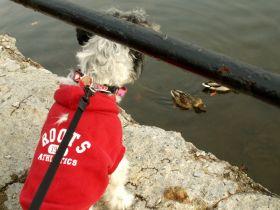 wembley canal ducks