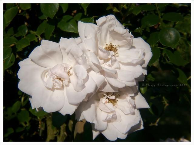 #161/365 Roses