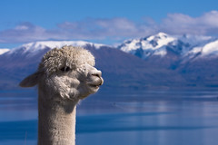 NZ - Home of the free-range llama