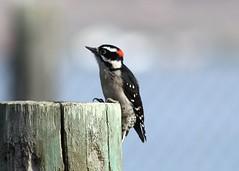 Picoides pubescens Downy Woodpecker (male)
