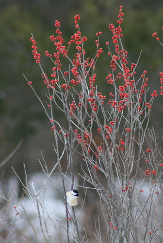 Black-capped Chickadee on winterberry