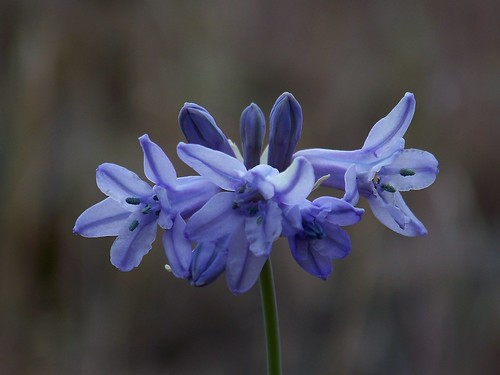 Largeflower triteleia
