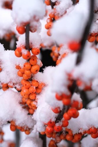 Snowy Ilex Berries