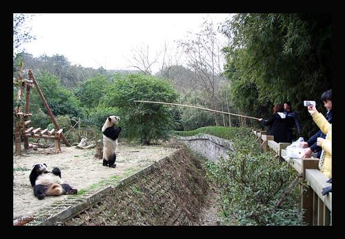 Me teaching panda to walk on hind legs