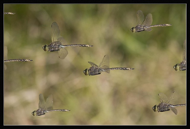 dragonfly swarm