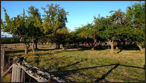 Apple orchard, Sequim, Washington.