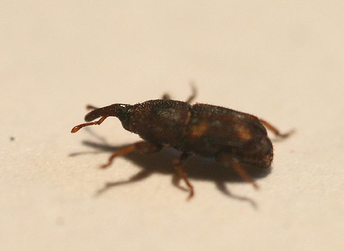 Granary weevil, Sitophilus sp.