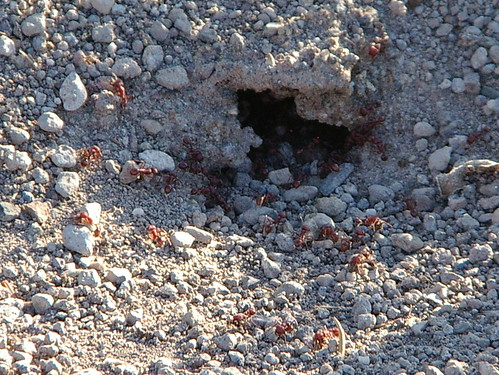 big big red ants