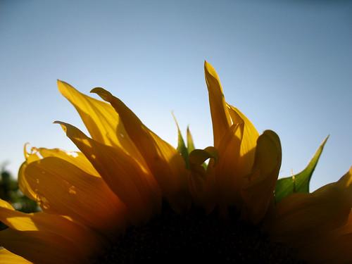 sunflower  - 4