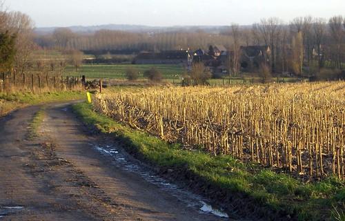 Winters maïsveld