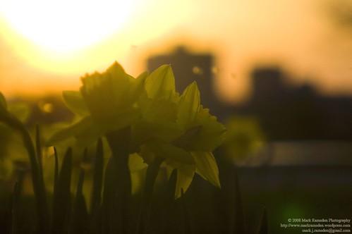 A Daffodil Skyline