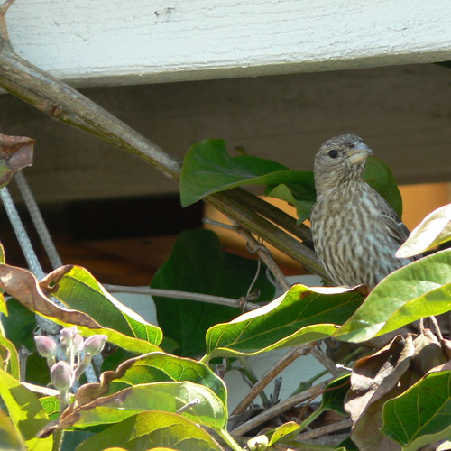 Annoyed House Finch
