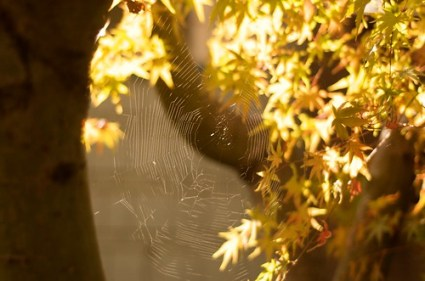 Fall Sun, Spider Webs, Maple Leaves, and DNTEL