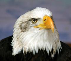 American Bald Eagle..