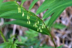 新治市民の森のナルコユリ(Lily, Niiharu Community Woods, Yokohama, Kanagawa, Japan, 2011)
