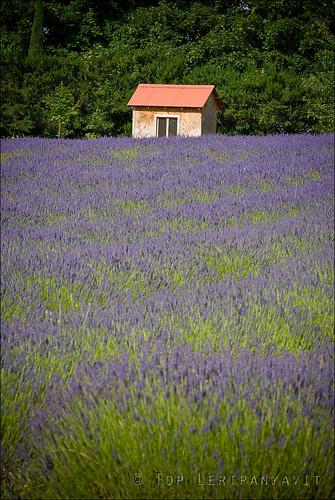 Lavender fields study 2