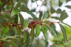 Autumn Olive?