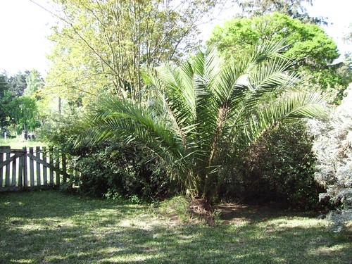 Palmboompie