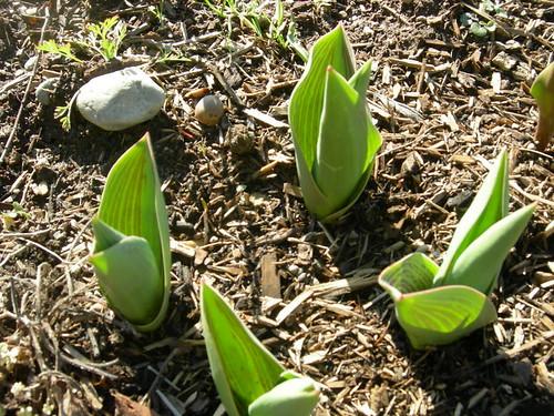 Tulip foliage, late February