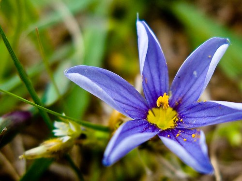 blue star flower with