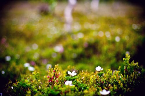 Rubus chamaemorus by Espen D.