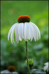 White Coneflower (by StarbuckGuy)