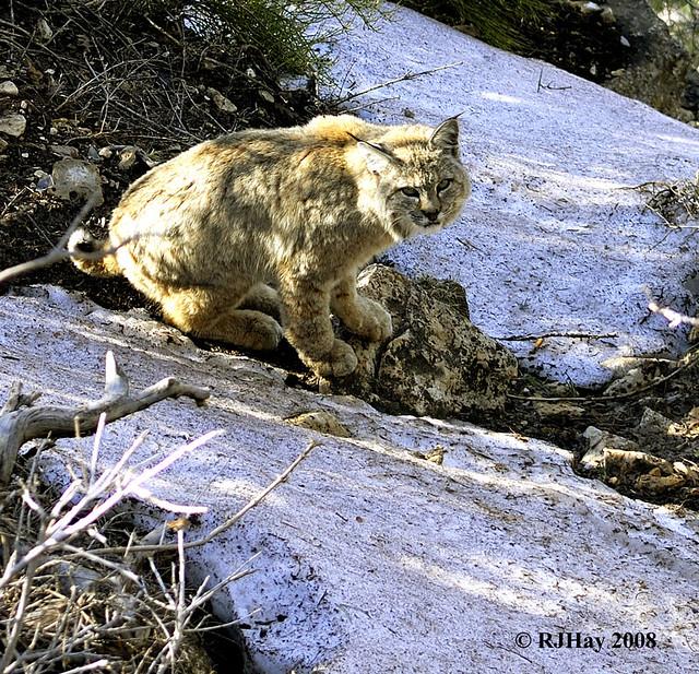 Grand Canyon Pussy Cat (Bobcat - Lynx rufus)